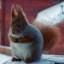 pokkiredsquirrel
